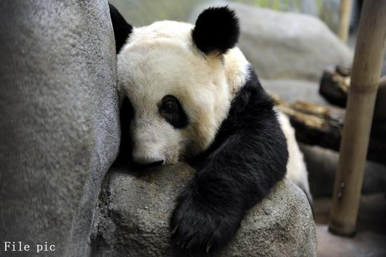 U.S. Memphis zoo says giant pandas 'healthy' amid concern over their conditions